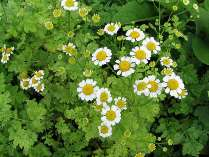 Feverfew side effects